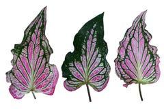 Caladium tweekleurig met roze blad stock illustratie