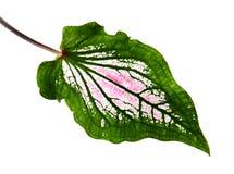 Caladium tweekleurig met roze blad en het groene Liefje van adersflorida, Roze die Caladium-gebladerte op witte achtergrond wordt royalty-vrije stock fotografie