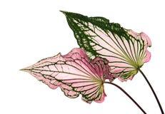 Caladium tweekleurig met roze blad en het groene Liefje van adersflorida, Roze die Caladium-gebladerte op witte achtergrond wordt royalty-vrije stock foto's