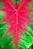 Caladium tweekleurig met waterdaling op blad Stock Fotografie