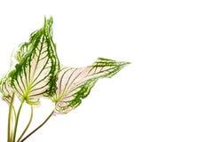 Caladium tweekleurige algemeen geroepen caladiums of engelenvleugels, stock afbeelding