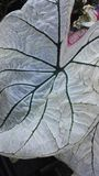 Caladium y x28; Corazón de Jesús, de Angel Wings, o del elefante Ear& x29; Plantas Foto de archivo