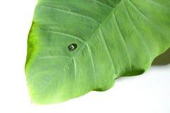 Caladiumblad i grön färg Arkivfoto