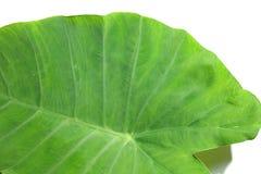 Caladiumblatt in der grünen Farbe Stockfoto