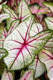 Caladiums Stock Image