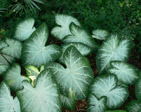 Caladiums blancs Photos stock
