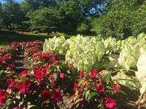 Caladiums e fiori magenta nel giardino fotografia stock