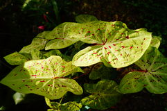 Caladiums Stock Images