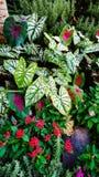Caladiums och blommor Arkivfoto