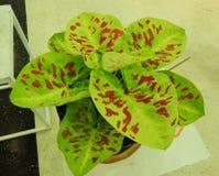 Caladiumväxt Royaltyfria Bilder