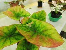 Caladiumväxt Royaltyfria Foton