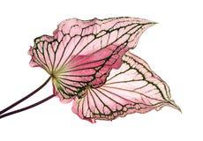 Caladiumzweifarbiges mit rosa Blatt und Grün adert Florida-Schatz, das rosa Caladiumlaub, das auf weißem Hintergrund lokalisiert  Stockbilder