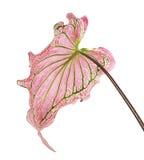 Caladiumzweifarbiges mit rosa Blatt und Grün adert Florida-Schatz, das rosa Caladiumlaub, das auf weißem Hintergrund lokalisiert  Stockfotografie
