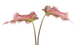 Caladiumzweifarbiges mit rosa Blatt und Grün adert Florida-Schatz, das rosa Caladiumlaub, das auf weißem Hintergrund lokalisiert  Lizenzfreies Stockfoto