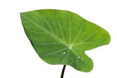 Caladiun, bon φύλλο στη περίοδο βροχών Στοκ Φωτογραφίες