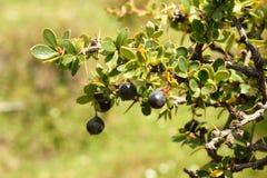 Calafate,世界的南部的果子 威廉斯口岸,智利巴塔哥尼亚 库存照片