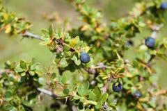 Calafate, Frucht des Südens der Welt Williams-Hafen, chilenischer Patagonia Stockfotografie