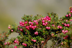 Calafate or Magellan Barberry Stock Image