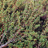 Calafate roślina, San Carlos De Bariloche, Argentyna Obrazy Royalty Free