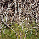 Calafate växt, San Carlos de Bariloche, Argentina Royaltyfri Foto