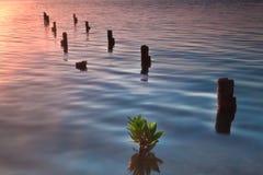 Calafato Belize di Caye Fotografia Stock