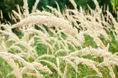 Calamagrostis brachytricha. Plant in the field stock photo