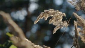 Calamagrostis epigeios (wood small-reed, bushgrass). Light wind. stock footage