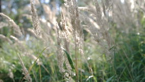 Calamagrostis epigeios wood small-reed, bushgrass. Wind. Shade to sunlight stock footage