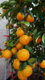 Calamansi. A type of lime also known calamondin or tangerine orange, usually displayed during Chinese New Year stock photography