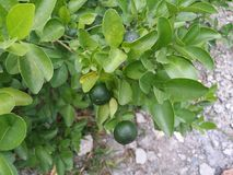 Calamansi Bush Images stock