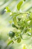 Calamansi ist eine Frucht und ein Baum Lizenzfreies Stockbild