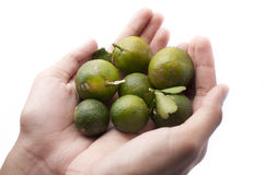 Calamansi Limes on Hands Stock Photo