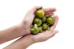 Calamansi Limes on Hands. Hands holding calamansi limes - Green, Orange Royalty Free Stock Photos