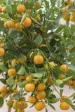 Calamansi, microcarpa do citrino, mitis de Citrofortunella, cal filipino Híbrido do citrino entre o kumquat e a tanjerina imagens de stock
