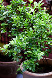 Calamansi tropical lime plant growing healthy outdoors. Stock Photography