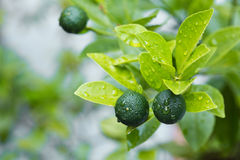 Calamansi tropical lime plant growing healthy outdoors. Royalty Free Stock Photography