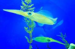 Calamar Foto de Stock