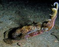 Calamar aislado en zambullida de la noche Fotos de archivo libres de regalías