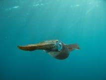Calamar del Caribe del filón Imagen de archivo