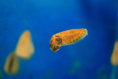 Calamar do Sepia Imagens de Stock