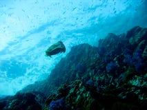 Calamar do sepia da natação Fotografia de Stock Royalty Free