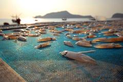 Calamar fresco, secado por la mañana. Fotos de archivo libres de regalías