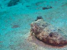 Calamar na areia Imagens de Stock Royalty Free