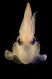 Calamar que paira ao nadar Imagens de Stock Royalty Free