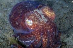 Calamar rechoncho Fotografía de archivo