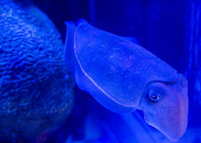 Calamari underwater Royalty Free Stock Photography