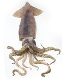 Calamaro Fotografie Stock