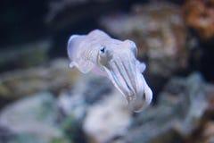 calamaro Immagine Stock