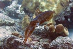 Calamaro caraibico della scogliera Fotografie Stock Libere da Diritti
