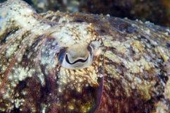 Calamaro che si nasconde per pescare piccolo pesce Fotografia Stock